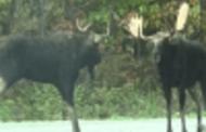 கனடாவில் அரிய வகை மான்கள் இரண்டு மோதல்