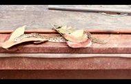 கல்முனை அரச அலுவலத்தில் புகுந்த மலைபாம்பு.