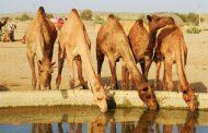 அவுஸ்திரேலிய அரசு 10,000-இற்கும் மேற்பட்ட ஒட்டகங்களை சுட்டுக்கொல்ல முடிவுசெய்துள்ளது.