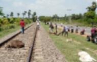 யாழ்ப்பாணத்தில் 10ற்கும் மேற்பட்ட மாடுகளை பலிவாங்கிய புகையிரம்